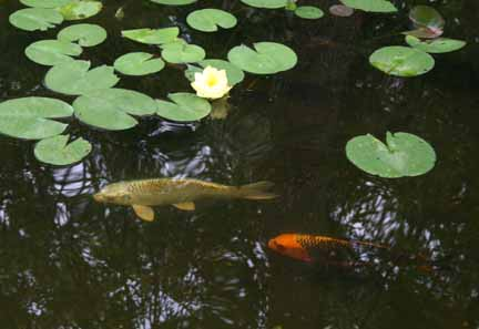 Photo of Koi & water lilies in MN.,click to enter gallery